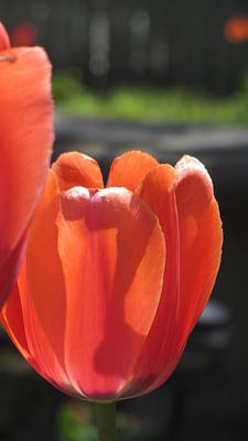 Photograph - Tulips Backlit 1 by Anita Burgermeister