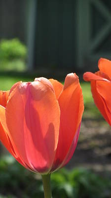 Photograph - Tulips Backlit 2 by Anita Burgermeister