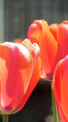 Photograph - Tulips Backlit 4 by Anita Burgermeister