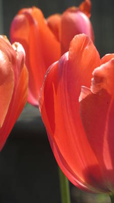 Photograph - Tulips Backlit 5 by Anita Burgermeister