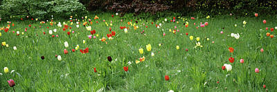 Tulips In Field Photograph - Tulips Blooming In A Field, Howick Hall by Panoramic Images