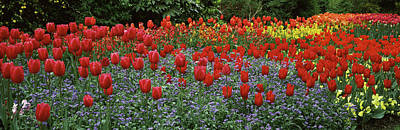 Tulips In Field Photograph - Tulips Blooming In A Garden, St. Jamess by Panoramic Images