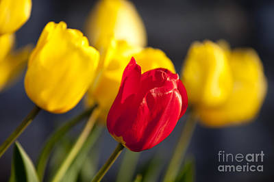 Photograph - Tulips by Brian Jannsen
