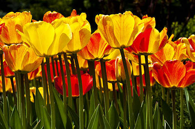 Photograph - Tulips by Celso Bressan
