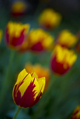 Tulips Art Print by Chevy Fleet