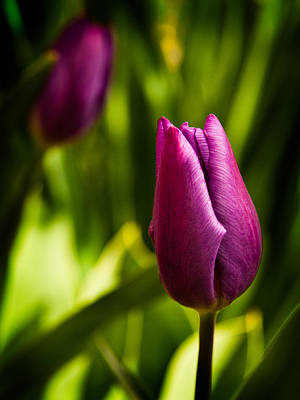 Photograph - Tulips by Davorin Mance