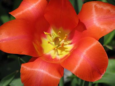 Photograph - Tulips - Desire 05 by Pamela Critchlow