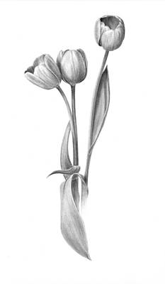 Tulips Drawing - Tulips by Diane Cardaci