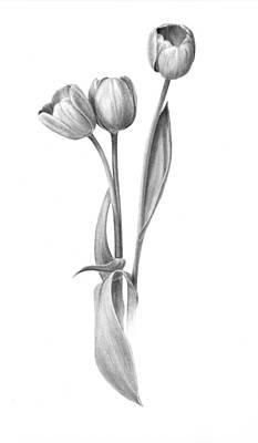 Tulip Drawing - Tulips by Diane Cardaci