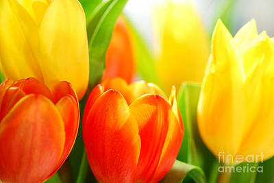 Backlit Tulip Photograph - Tulips by Elena Elisseeva