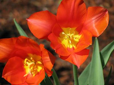 Photograph - Tulips - Enthusiasm 03 by Pamela Critchlow