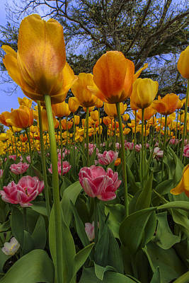 Photograph - Tulips Everywhere by Rick Berk