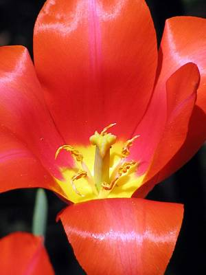 Photograph - Tulips - Filled With Desire 06 by Pamela Critchlow