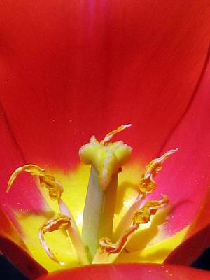 Photograph - Tulips - Filled With Desire 07 by Pamela Critchlow