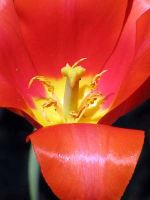 Photograph - Tulips - Filled With Desire 08 by Pamela Critchlow