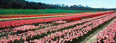 Tulips In Field Photograph - Tulips Flowers In A Farm by Panoramic Images