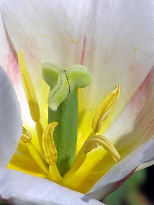 Photograph - Tulips - Forgiveness Is Bliss 01 by Pamela Critchlow