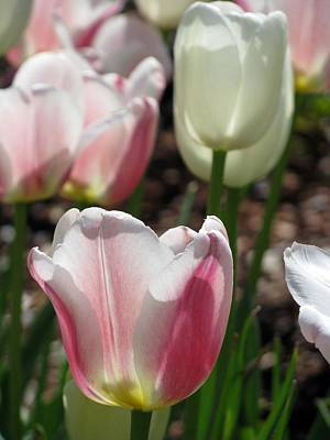 Photograph - Tulips - Forgiveness Is Bliss 05 by Pamela Critchlow