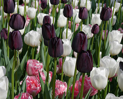 Photograph - Tulips IIi by Richard Reeve
