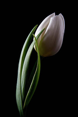 Tulips Photograph - Tulips IIi by Tom Mc Nemar
