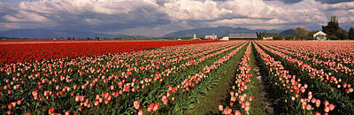 Tree Tulips Photograph - Tulips In A Field, Skagit Valley by Panoramic Images