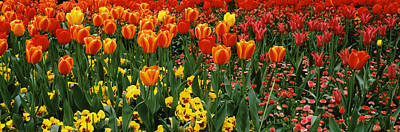 Tulips In Field Photograph - Tulips In A Field, St. Jamess Park by Panoramic Images