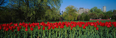 Tulips In A Garden, Boston Public Art Print by Panoramic Images
