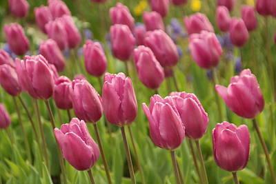 Tulips In A Gentle Breeze Art Print by Jeff Swan