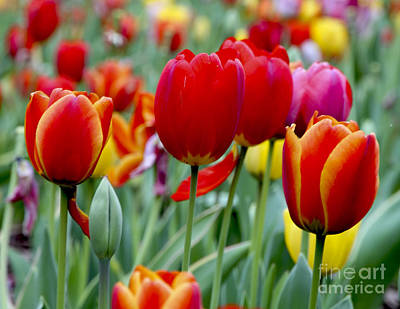 Tulips Online Photograph - Tulips In Bloom by Leslie Reitman