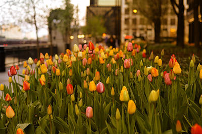 Photograph - Tulips In Chicago by Miguel Winterpacht