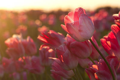 Photograph - Tulips In Evening Light by Teresa Hunt