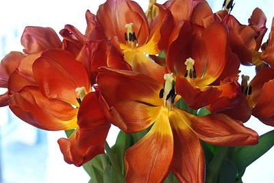 Photograph - Tulips In Open Splendor by Margie Avellino