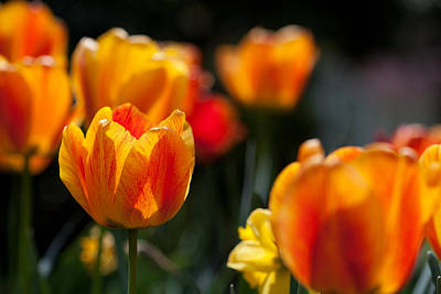 Photograph - Tulips In The Garden by Karol Livote