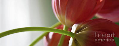 Tulip Art Photograph - Tulips In The Morning by Theresa Tahara
