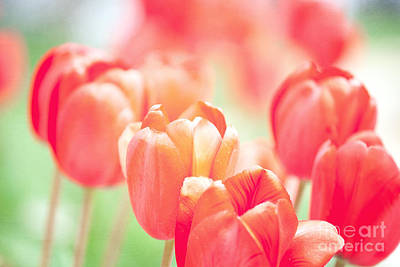 Tulips In The Sun Art Print