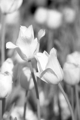 Photograph - Tulips - Infrared 12 by Pamela Critchlow