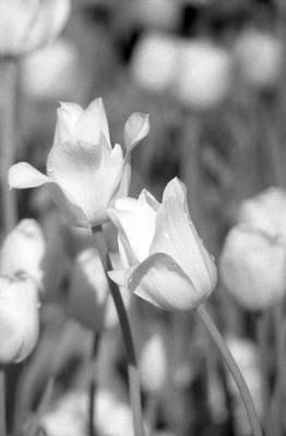Photograph - Tulips - Infrared 13 by Pamela Critchlow