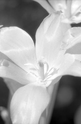 Photograph - Tulips - Infrared 22 by Pamela Critchlow