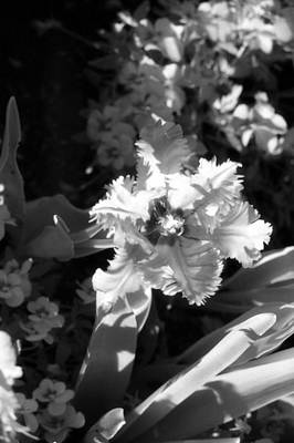 Photograph - Tulips - Infrared 24 by Pamela Critchlow