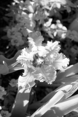 Photograph - Tulips - Infrared 25 by Pamela Critchlow