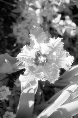 Photograph - Tulips - Infrared 26 by Pamela Critchlow
