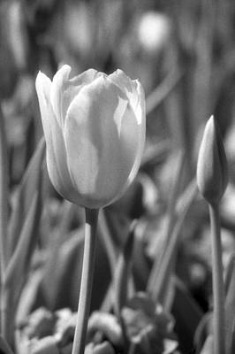 Photograph - Tulips - Infrared 27 by Pamela Critchlow