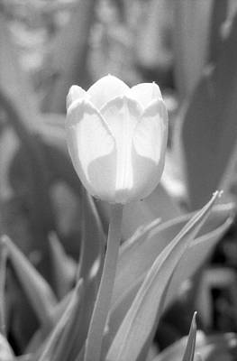 Photograph - Tulips - Infrared 30 by Pamela Critchlow