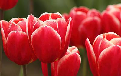 Photograph - Tulips by Jennifer Wheatley Wolf