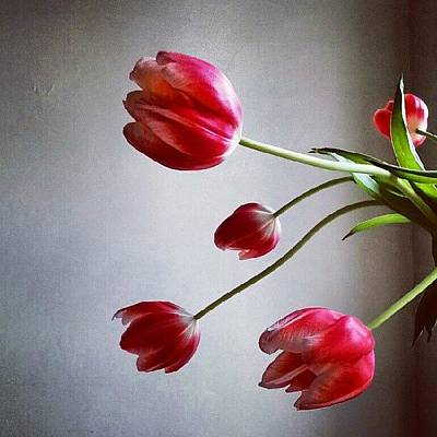 Red Wall Art - Photograph - Tulips by Jill Tuinier