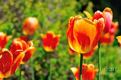 Photograph - Tulips by Joe  Ng