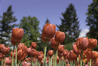 Photograph - Tulips by Josef Pittner