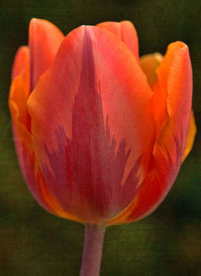 Photograph - Tulips - Love Letters by Joann Vitali