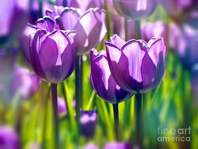 Photograph - Tulips Mauve by France Laliberte