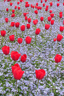 Photograph - Tulips Never To Forget by Frank Townsley